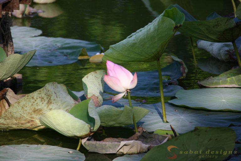 Lotus flower Yangon