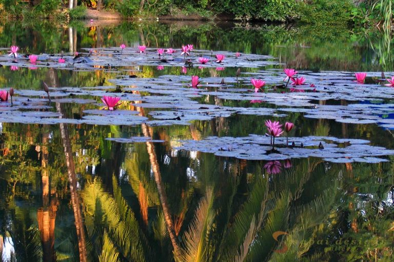 Lotus Pond Laos